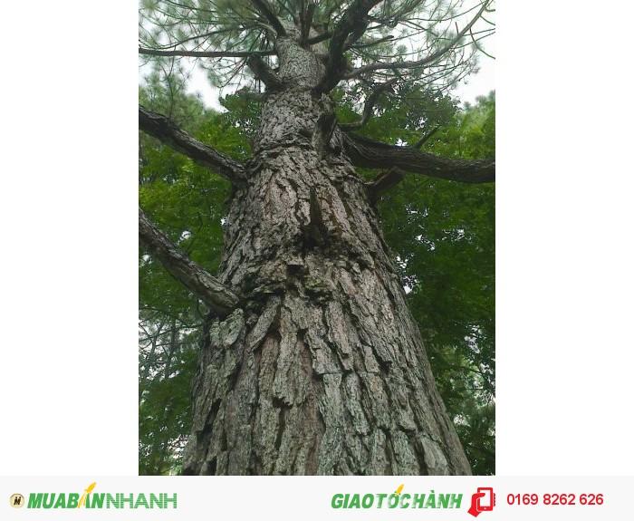 cây thông caribe0