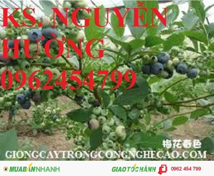 Bán hạt giống và cây giống việt quất chất lượng cao1
