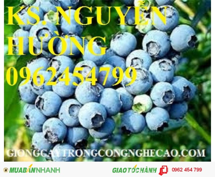 Bán hạt giống và cây giống việt quất chất lượng cao0