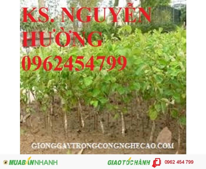 Chuyên cung cấp giống táo ngọt h12 chất lượng cao4