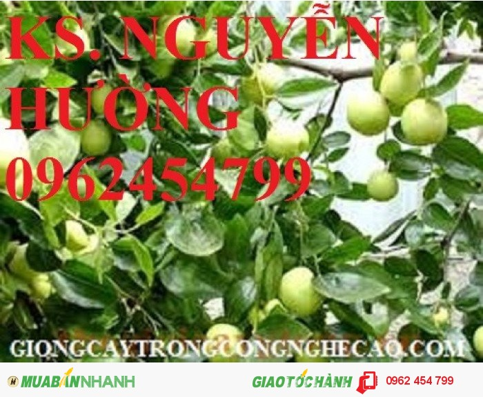Chuyên cung cấp giống táo ngọt h12 chất lượng cao3