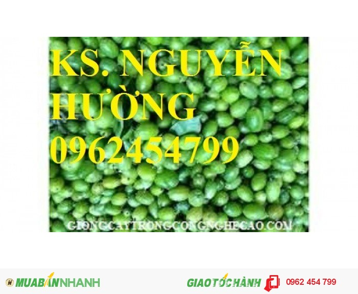 Chuyên cung cấp giống nhót ngọt chất lượng cao2
