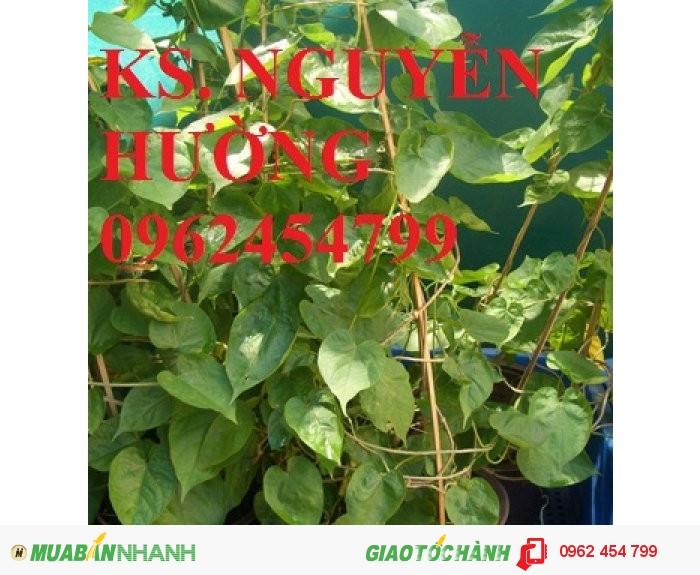 Chuyên cung cấp cây giống thiên lý chất lượng cao4