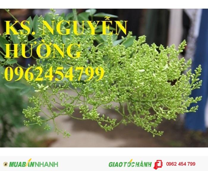 Chuyên cung cấp giống cây hoa hòe chất lượng cao2