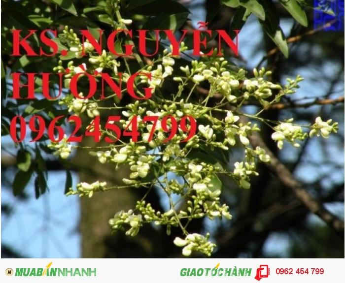 Chuyên cung cấp giống cây hoa hòe chất lượng cao4