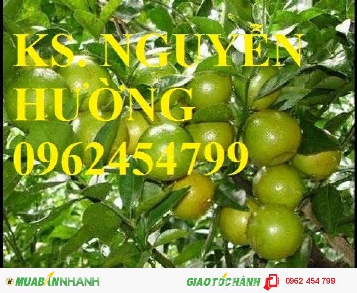 Chuyên cung cấp giống cây quýt đường thái lan chất lượng cao3
