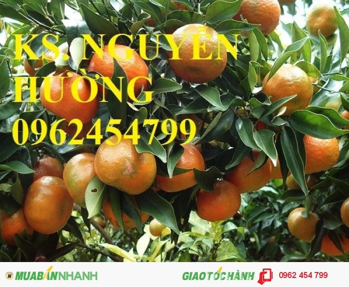 Chuyên cung cấp giống cây quýt đường thái lan chất lượng cao0