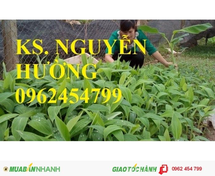 Chuyên cung cấp cây giống chuối tây thái lan uy tín, chất lượng0