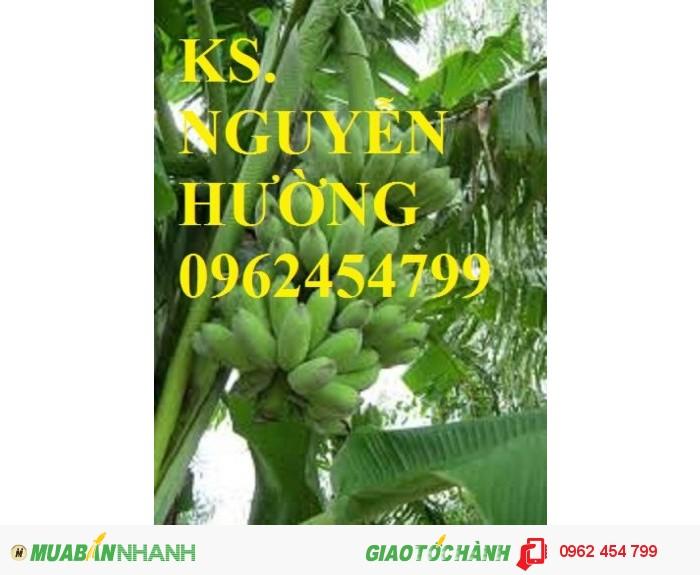Chuyên cung cấp cây giống chuối tây thái lan uy tín, chất lượng1