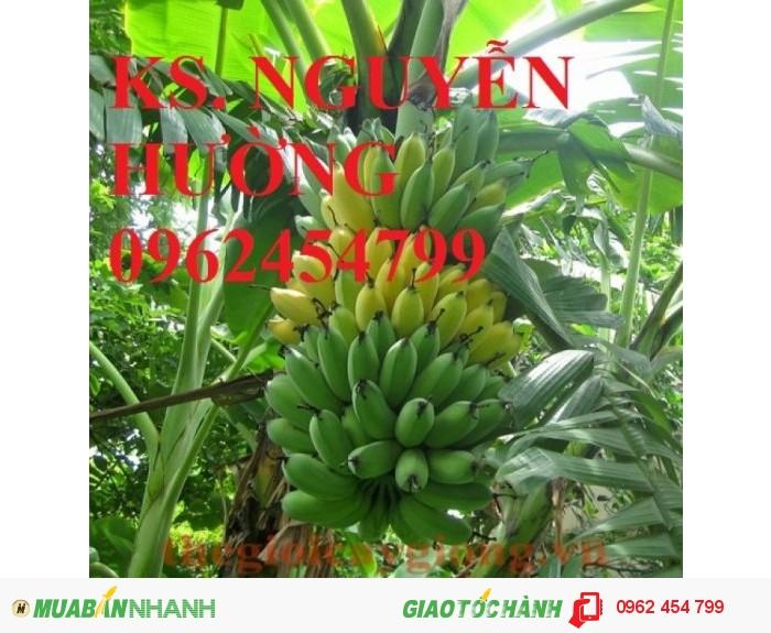 Chuyên cung cấp cây giống chuối tây thái lan uy tín, chất lượng2