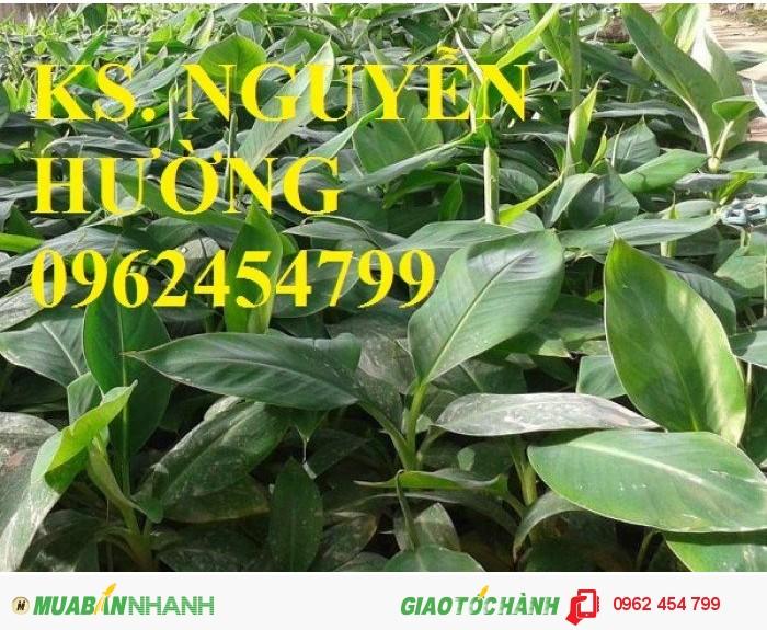 Chuyên cung cấp cây giống chuối tây thái lan uy tín, chất lượng3