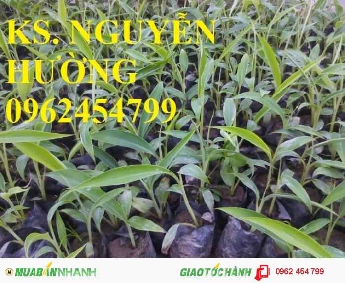 Chuyên cung cấp cây giống chuối tây thái lan uy tín, chất lượng4