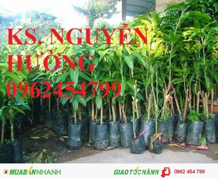 Chuyên cung cấp giống cây xoài úc chất lượng cao3