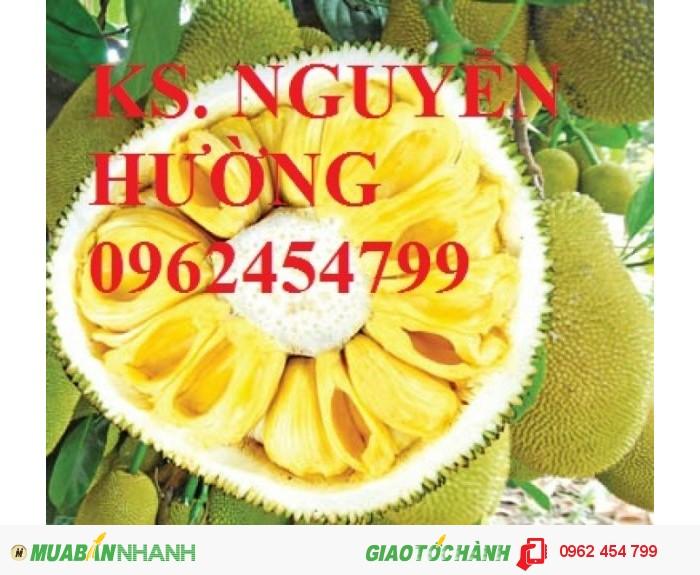 Chuyên cung cấp giống cây mít không hạt chất lượng cao1