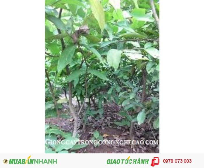 Giống cây roi thái đỏ, mận an phước, cây roi đỏ thái lan, số lượng lớn, giao hàng toàn quốc1