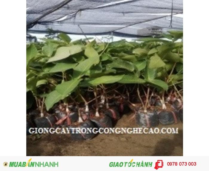 Giống cây roi thái đỏ, mận an phước, cây roi đỏ thái lan, số lượng lớn, giao hàng toàn quốc3