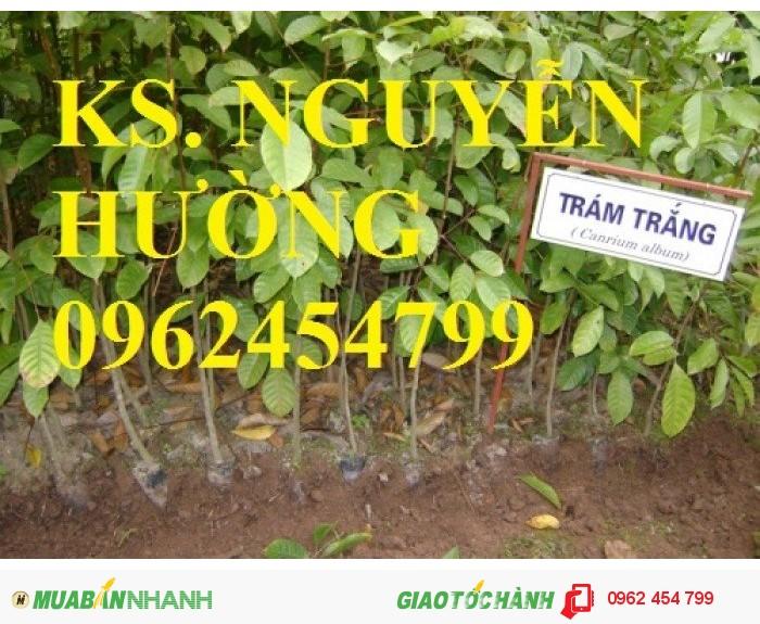 Chuyên cung cấp giống cây trám trắng chất lượng cao0