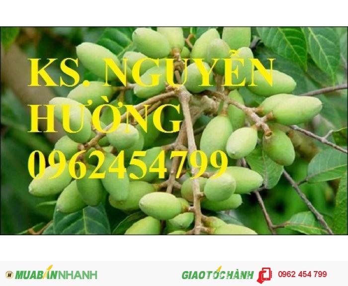 Chuyên cung cấp giống cây trám trắng chất lượng cao1