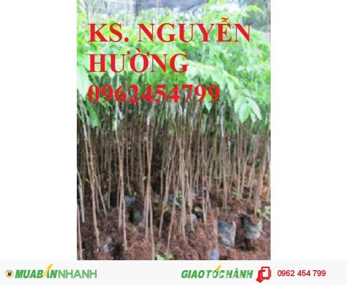Chuyên bán giống cây trám đen chất lượng cao1