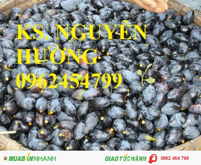 Chuyên bán giống cây trám đen chất lượng cao2