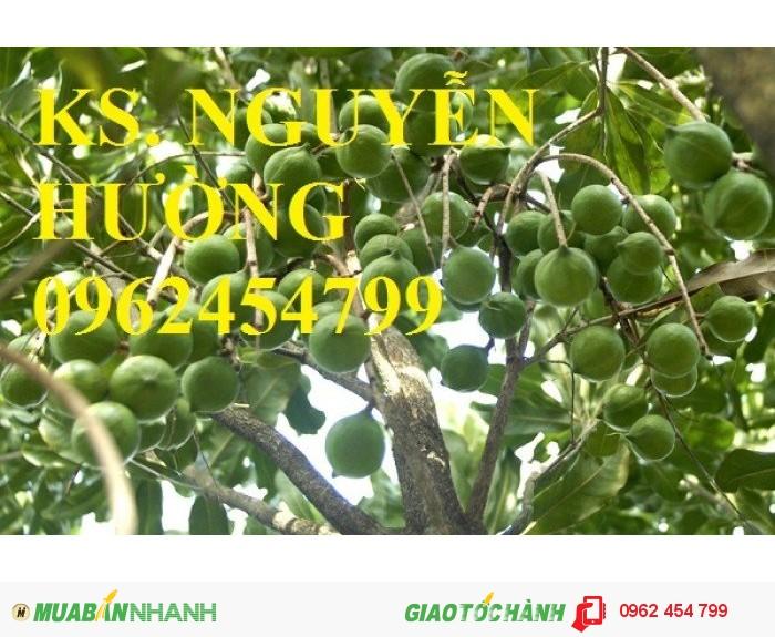 Chuyên cung cấp giống cây mắc ca (macca) uy tín, chất lượng1