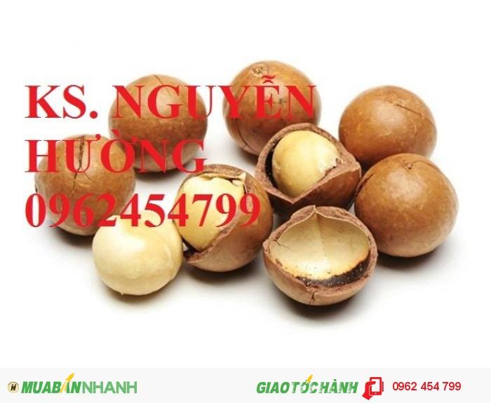 Chuyên cung cấp giống cây mắc ca (macca) uy tín, chất lượng4