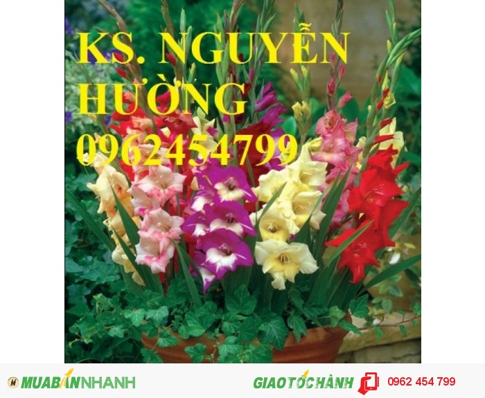 Chuyên cung cấp củ giống, cây giống hoa lay ơn (hoa dơn) uy tín, chất lượng4