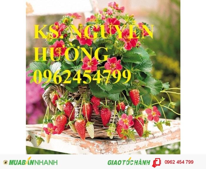 Chuyên cung cấp giống cây dâu tây uy tín, chất lượng3