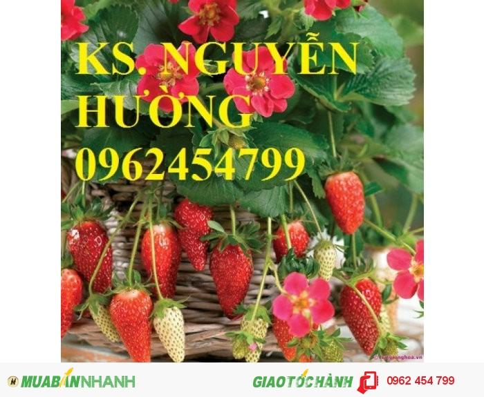 Chuyên cung cấp giống cây dâu tây uy tín, chất lượng4