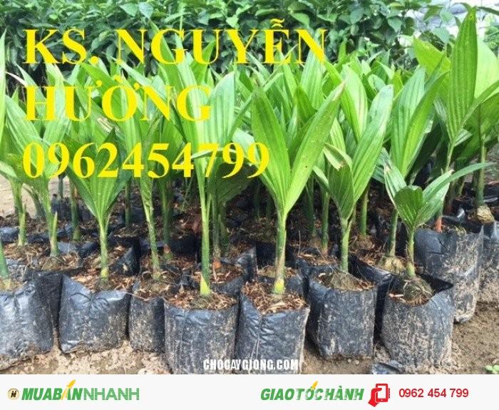 Chuyên cung cấp giống cây cau lùn tứ quý uy tín, chất lượng1