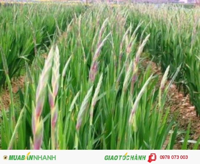Chuyên cung cấp cây giống hoa lay ơn uy tín chất lượng cao