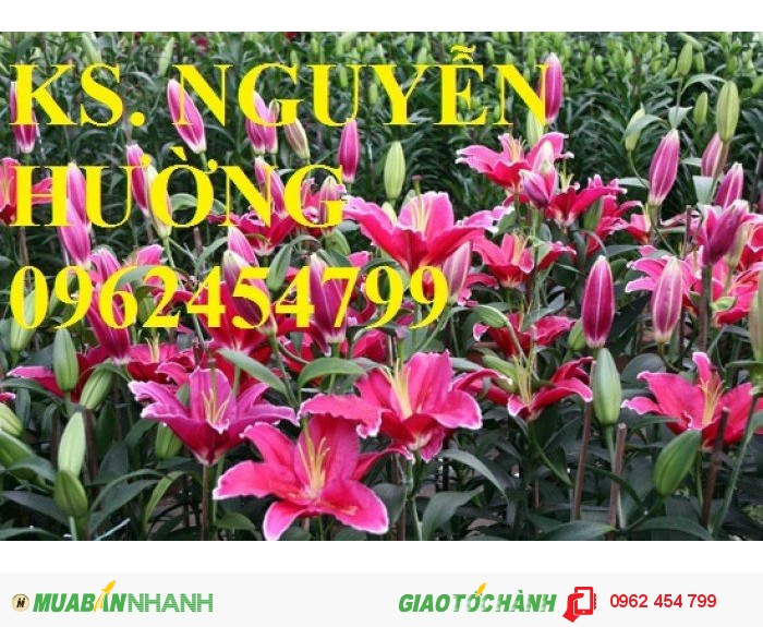Chuyên cung cấp củ hoa ly và hoa ly ly giống các màu số lượng lớn, chất lượng cao