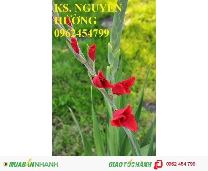 Chuyên cung cấp củ giống hoa lay ơn chuẩn giống,uy tín, chất lượng1