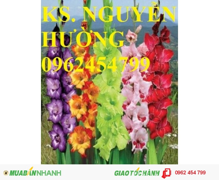 Chuyên cung cấp củ giống hoa lay ơn chuẩn giống,uy tín, chất lượng3