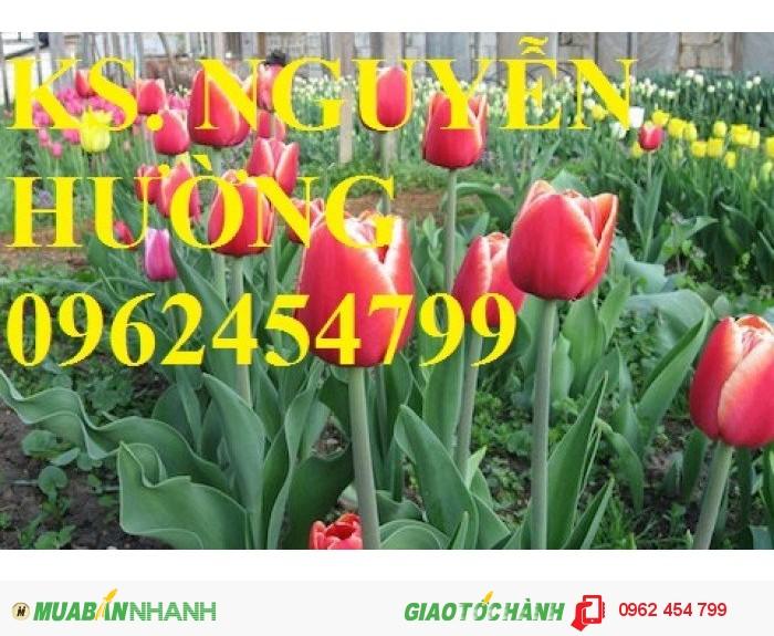 Chuyên cung cấp củ giống hoa tuy lip uy tín, chất lượng2