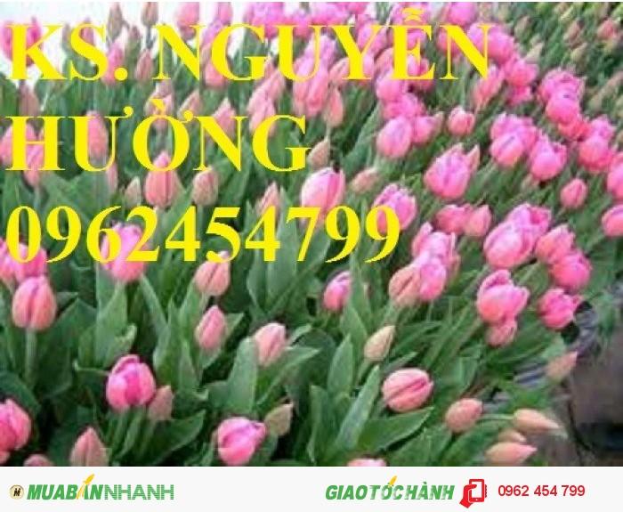 Chuyên cung cấp củ giống hoa tuy lip uy tín, chất lượng4