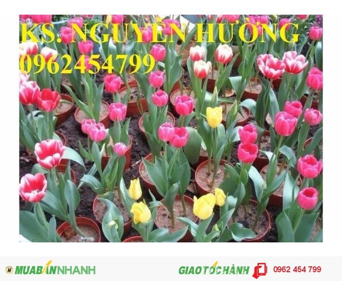 Chuyên cung cấp củ giống hoa tuy lip uy tín, chất lượng0