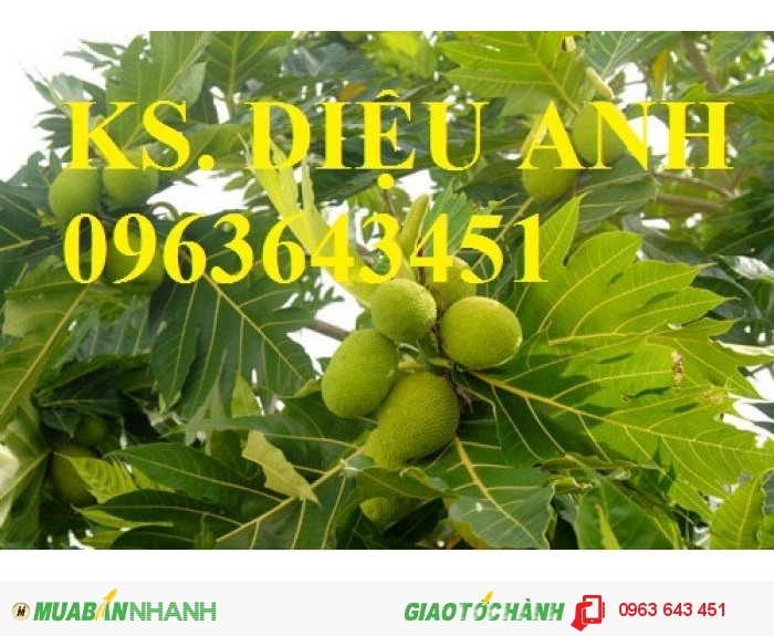 Cuyên cung cấp giống cây sakê (sa kê) uy tín, chất lượng, đảm bảo4