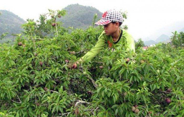 Chuyên cung cấp giống cây mận tam hoa uy tín chất lượng cao2