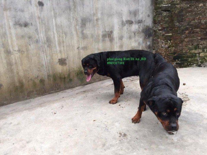 Phối giống Rottweiler Dĩ An Binh Dương, thuần chủng1