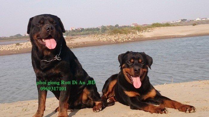 Phối giống Rottweiler Dĩ An Binh Dương, thuần chủng0