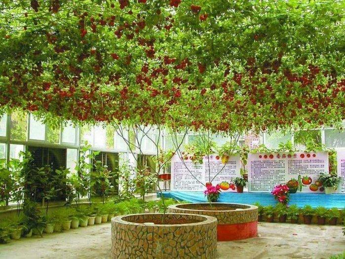 Hạt giống Cà chua thân gỗ leo giàn bán theo hạt/150k1