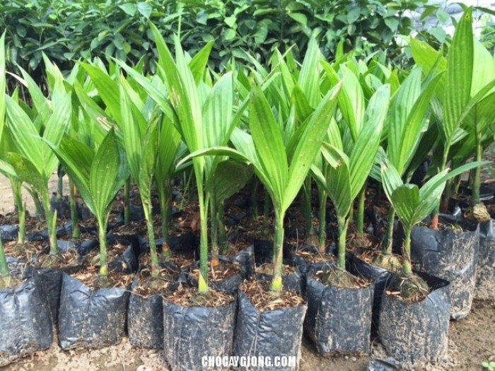 Chuyên cung cấp giống cây các loại: Cau tứ quý, macca(măc ca) tre bát độ, sa kê, sấu, số lượng lớn, uy tín, chất lượng đảm bảo0