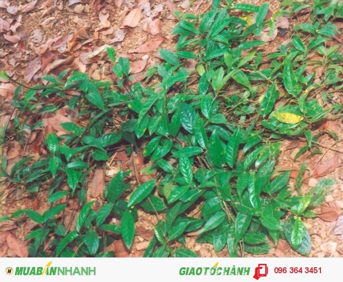 Chuyên cung cấp cây giống ba kích tím số lượng lớn, uy tín, chất lượng1
