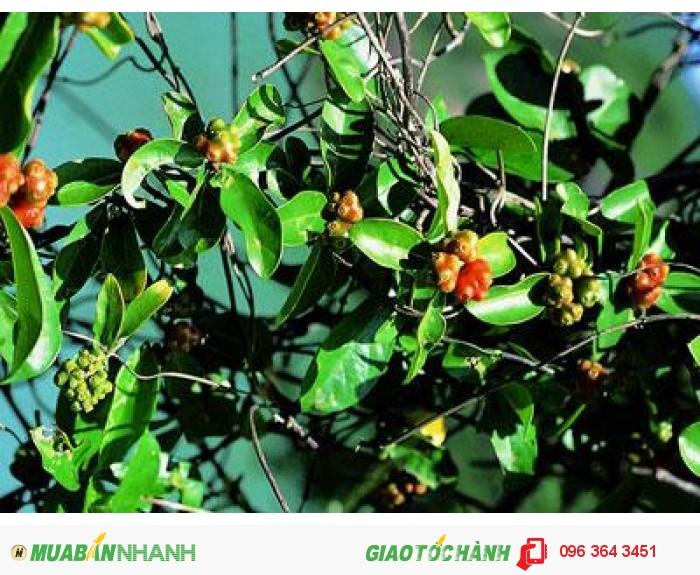 Chuyên cung cấp cây giống ba kích tím số lượng lớn, uy tín, chất lượng2