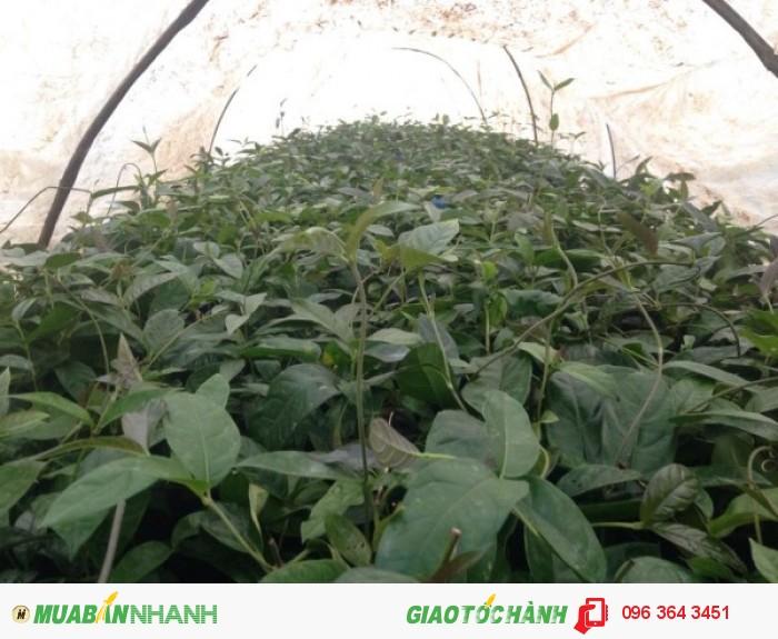 Chuyên cung cấp cây giống ba kích tím số lượng lớn, uy tín, chất lượng4