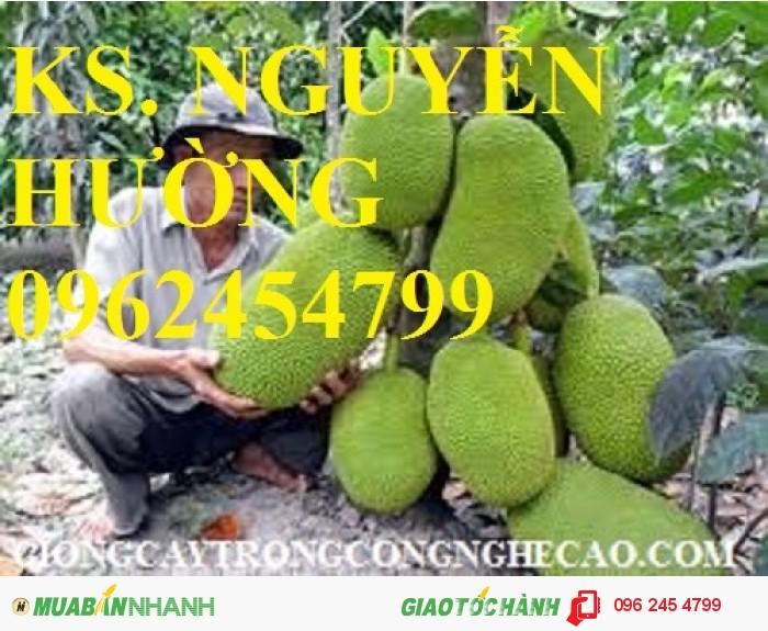 Chuyên cung cấp giống cây mít thái siêu sớm, mít tố nữ, mít ruột đỏ, mít không hạt, mít nghệ tứ quý, mít viên linh3