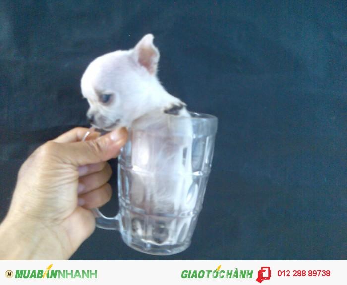 chihuahua siêu mini bỏ ly 3 tháng tuổi, nặng 200gr , màu trắng, lông sát ,Thuần Chủng 100%, ĐÃ CHỦNG NGỪA3