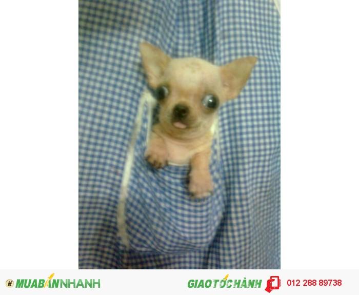 chihuahua siêu mini bỏ túi 3 tháng tuổi, nặng 200gr , màu kem , lông sát ,Thuần Chủng 100%,  ĐÃ CHỦNG NGỪA4
