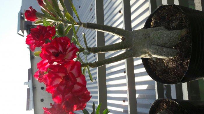 Hoa sứ thái lan